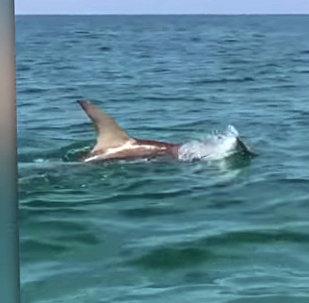 Жестокий бой акулы-молота с тарпоном снял на камеру очевидец