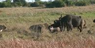 Не бросили на произвол судьбы — буйволы вырвали собрата из пасти львов. Видео