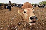 Корова на скотном рынке. Архивное фото