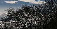 Деревья гнутся из-за сильного ветра. Архивное фото