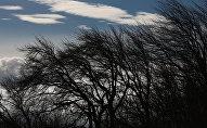 Деревья на ветру. Архивное фото