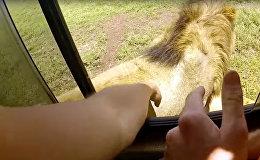 Погладил льва и едва не лишился руки — глупый поступок туриста попал на видео