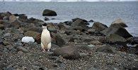 Антарктидадагы Ватерлоо аралындагы пингвин. Архив