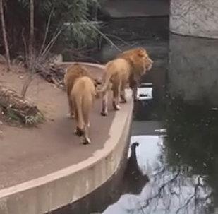 Лев, засмотревшись, провалился в пруд в зоопарке — смешное видео