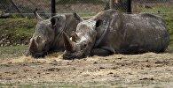 Носороги. Архивное фото