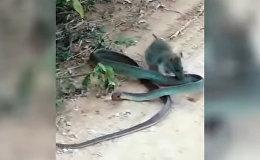 Такое редко увидишь! Крыса сошлась в смертельной схватке со змеей — видео