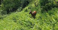 Нарындан Жалал-Абадга жер которгон маралдар. Тарыхый видео