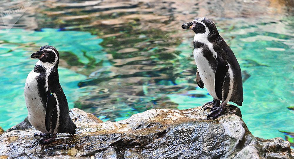 Романтичные пингвины изЮжной Африки стали звездами вweb-сети интернет