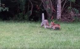 Схватка отважного енота и рыси попала на видео
