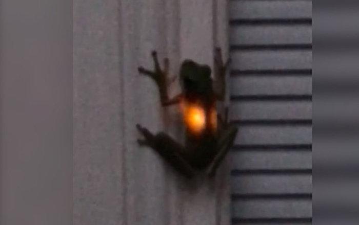 Как такое возможно? Светящуюся изнутри лягушку сняли на видео