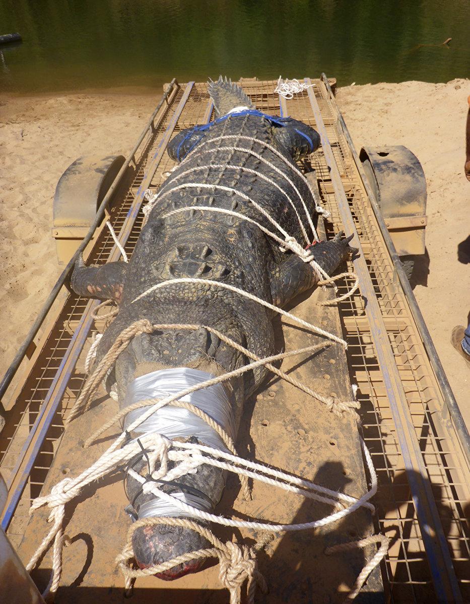 В Австралии поймали гигантского крокодила длиной 4,7 метра. 600-килограмовый гребнистый крокодил попал в ловушку в районе ущелья Кэтрин на севере государства.