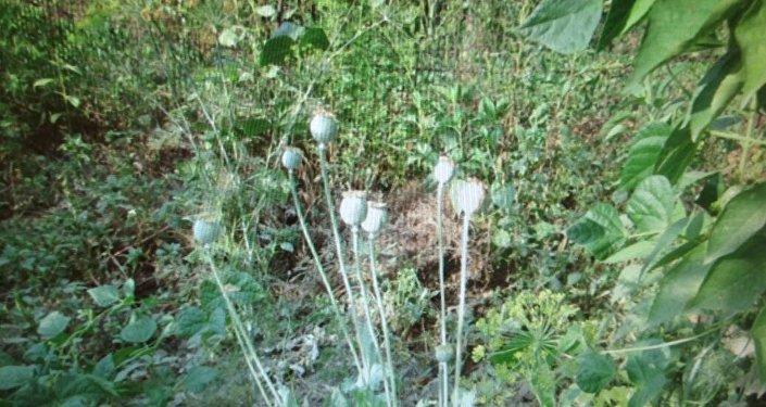 Чүйдө жашаган 67 жаштагы кемпирдин короосунан 107 баш апийим табылганын облустук милициянын маалымат кызматы билдирди