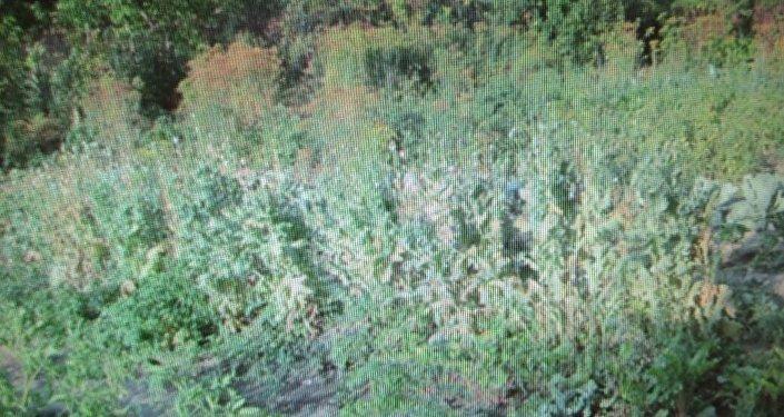 Баңгизат өсүмдүгү 10-июлда милиция кызматкерлери үймө-үй кыдырып текшерген учурда аныкталып, укук коргоо органдары 107 баш апийимди табышкан.