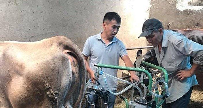 Машинная дойка коровы в компании Аргалис KG