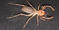Крупные паукообразные сольпуги (фаланги). Архивное фото