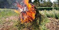 Операция Мак, в ходе которого было уничтожено 600 килограм дикой конопли в Караколе