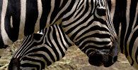 Зебры. Архивное фото