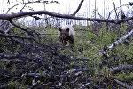Медведица напала на охотников, пытавшихся убить ее детенышей. Видео