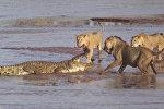 Трое львов напали на крокодила