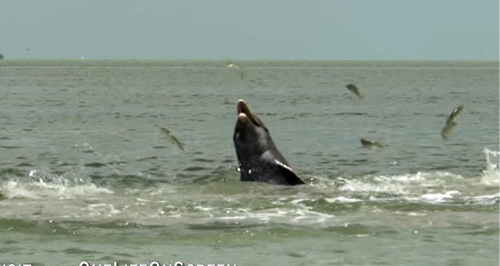 Такого вы от дельфинов точно не ожидали! Видео уникальной охоты