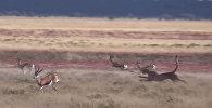Разогнался до молниеносной скорости — видео охоты гепарда на газель