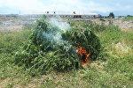 В Московском районе Чуйской области уничтожили более 11 тонн дикорастущей конопли