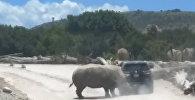 Едва не перевернул — носорог напал на машину туристов в Мексике. Видео