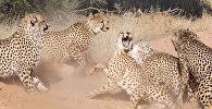 Гепарды устроили ожесточенную схватку, пытаясь добиться самки. Видео