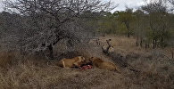 Не успели насладиться — стая гиен отобрала добычу у львиц. Видео