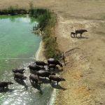 Буйволы выходят из воды на засушливую землю в Нидерландах