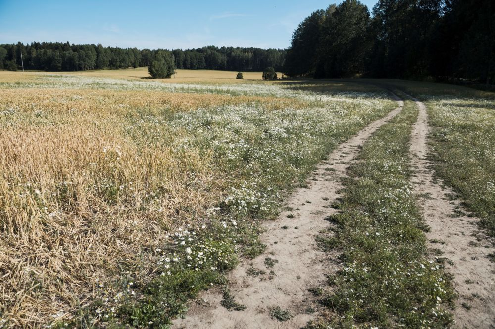 Поврежденное пшеничное поле в Швеции