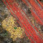 Выброшенные перезрелые томаты на поле в западной Швейцарии