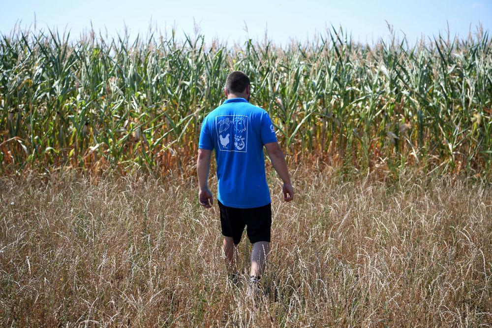Фермер на кукурузном поле, охваченном засухой,  во Франции