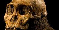 Череп прямоходящих предков современных людей homo erectus. Архивное фото