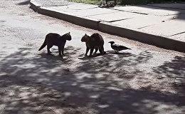 Ворона разнимает дерущихся котов, рискуя жизнью. Видео