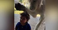 Лев пытался добраться до мальчика через стекло в зоопарке