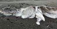 На пляже лежит мертвый волосатый монстр — видео c Камчатки