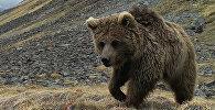Медведь в объективе фотоловушки в Иссык-Кульской области. Архивнео фото