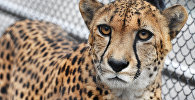 Гепард в зоопарке. Архивное фото