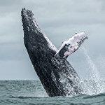 Колумбиянын Урамба улуттук паркынын аймагына кирген Тынч океанда сүзүп жүргөн бүкүр кит
