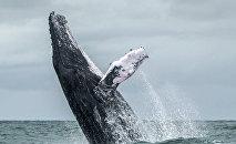 Горбатый кит выпрыгивает на поверхность океана. Архивное фото
