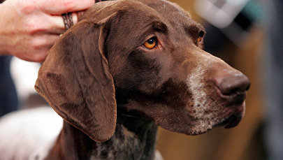 Собака породы Курцхаар. Архивное фото