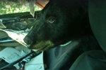 Медведь забрался в автомобиль и уснул — забавное видео
