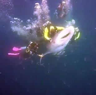 Дайвер катается верхом на акуле — видео, которое возмутит вас