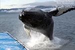 Тоо жылып келе жаткандай! Аляскада киттин сууга кулаган видеосу