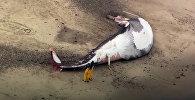 АКШда чоң көлөмдөгү кит океан жээгине чыгып калган. Видео
