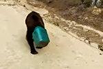 В Якутии ищут медведя с канистрой на голове — видео