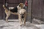 Продал пса за $ 20 тысяч — как в Бишкеке зарабатывают на собачьих боях