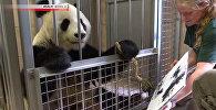 Панда научилась рисовать картины — милое видео из зоопарка в Вене