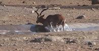 Кыймылдаганга дарманы калбаптыр. Африкада турист антилопаны сууруп чыккан видео